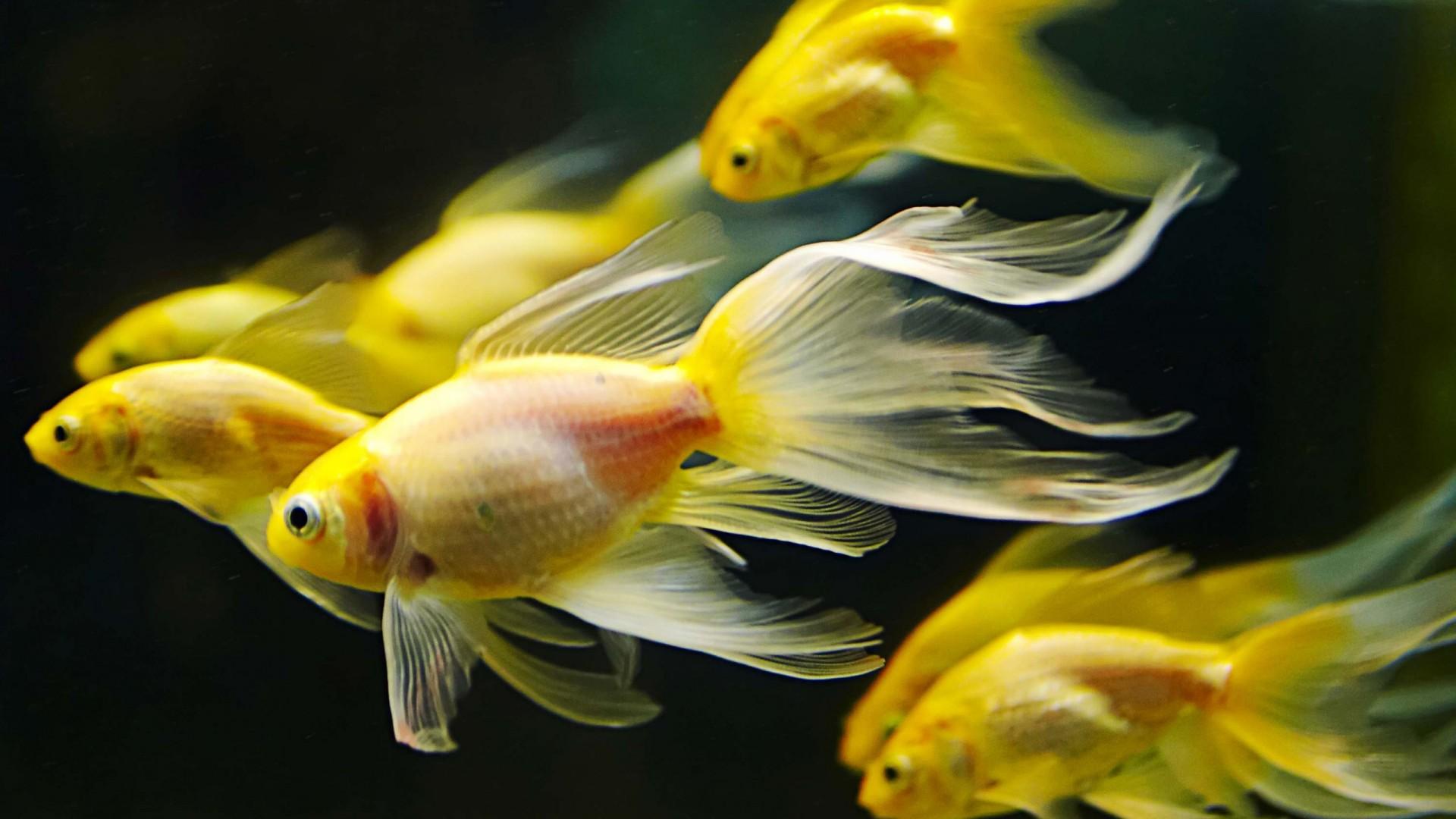 Yellow Goldfish Animal Wallpaper 630 1920x1080 1080p