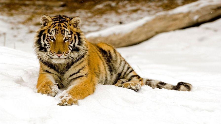 Animals Tiger Snow Wallpapers Hd Desktop And Mobile: Snow Tiger Animal Wallpaper 997